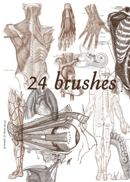 24 high-resolution anatomical images PS brush
